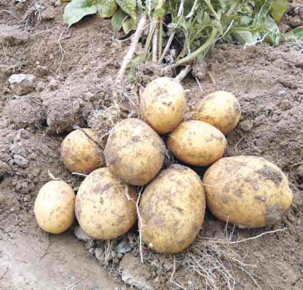 Картопля Пікассо та Крістел дає до двох кілограмів врожаю з куща
