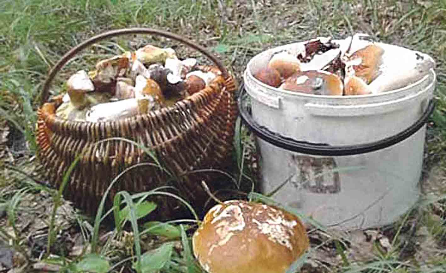У вінницьких лісах аномальний урожай грибів