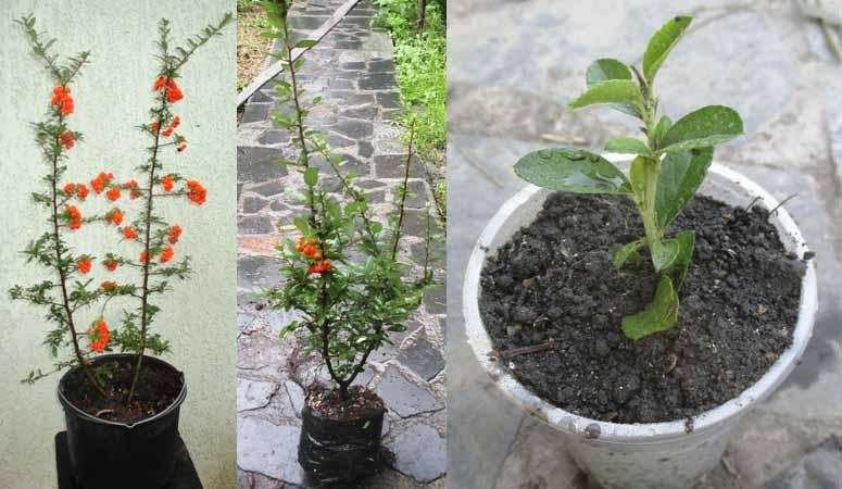 Піроканта гідна рослина уваги садоводів