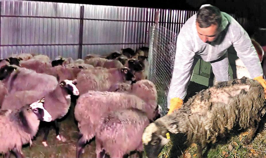 """Вівці, які вижили у одеській """"фурі смерті"""", оселяться на екофермі"""