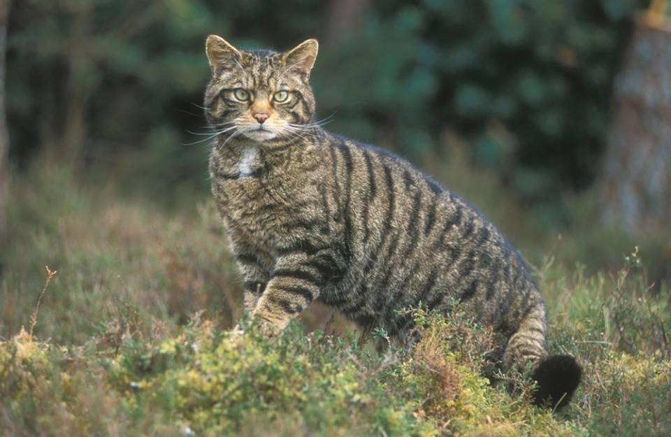 У Жмеринському лісгоспі можна зустріти лісового кота та лося