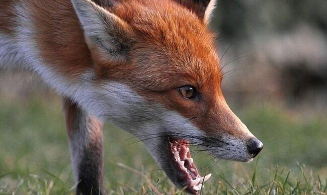 Лисиці тероризують нашу Пеньківку. А мисливців немає (лист)