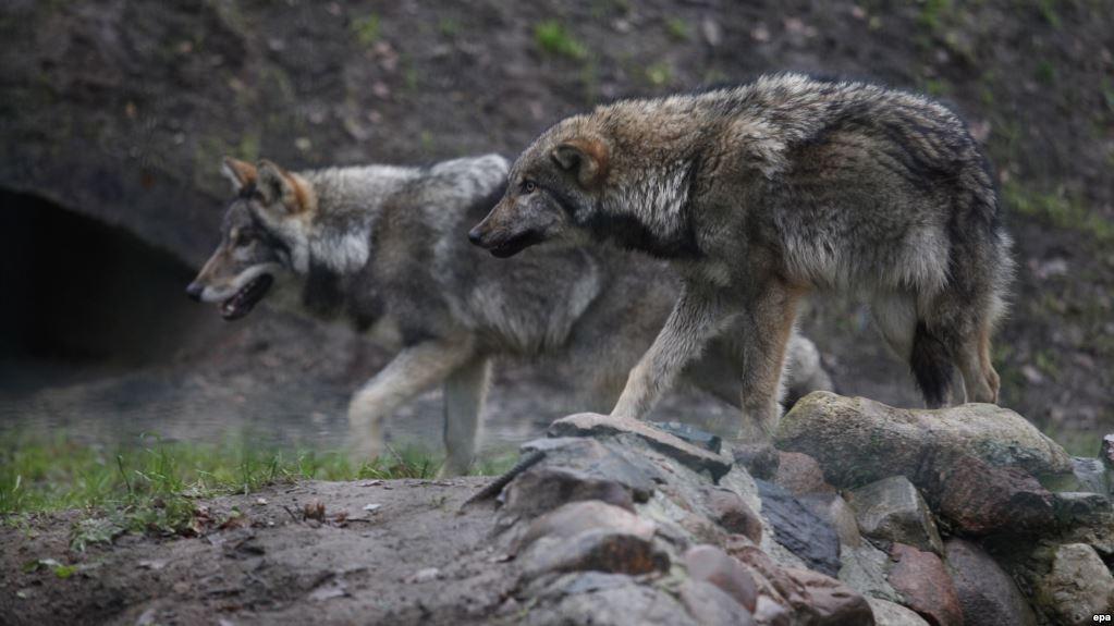 У Тульчинському районі побільшало вовків