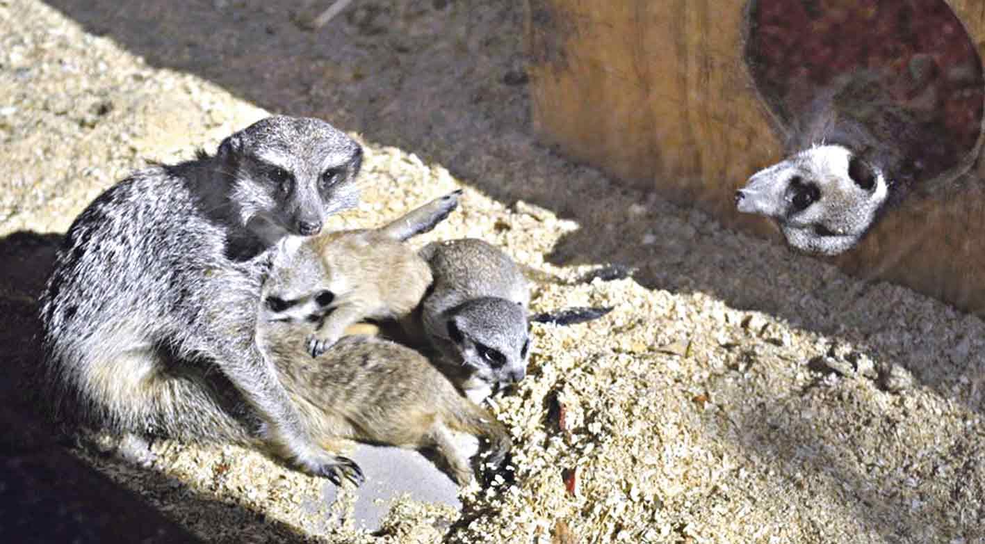 Бебі-бум у вінницькому зоопарку – лами, альпаки, гамадрили та сурікати дали потомство