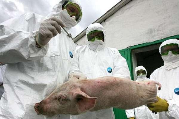 Через африканську чуму на Козятинщині знищили тисячу голів свиней. Підозрюють, що вірус привезли закупівельники