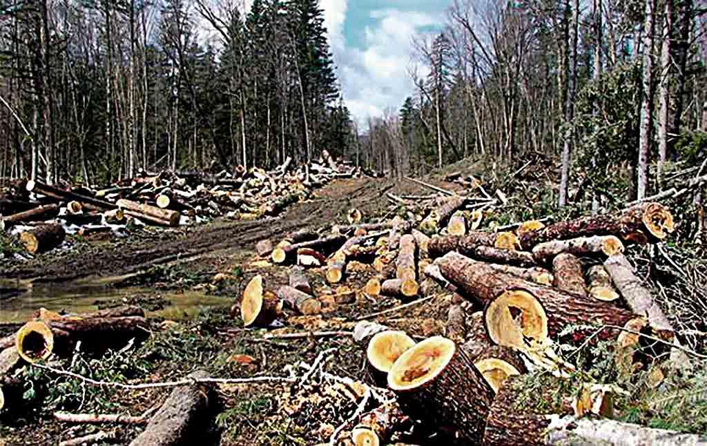 Чому знищують Пожежний ліс у Мурованих Курилівцях?