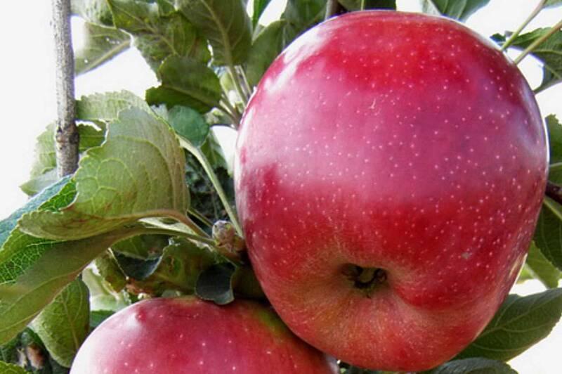 Яблуко знизить тиск