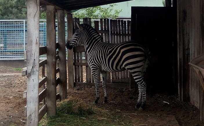 У Вінницькому зоопарку вже є зебра Гранта