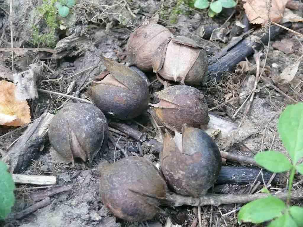 Унікальні горіхи з царських часів вирощують на Гайсинщині