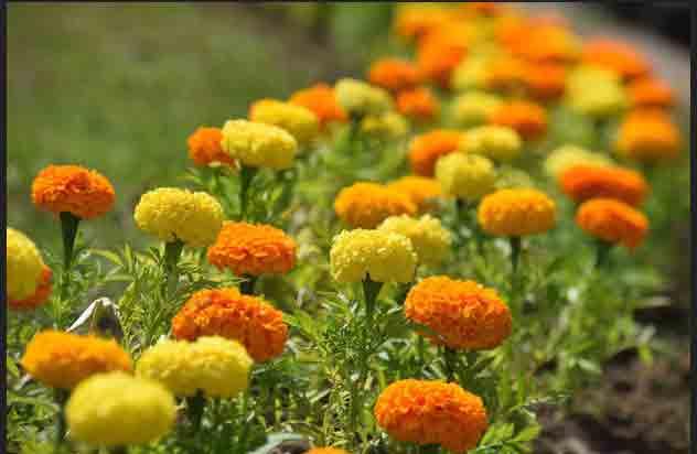Квіти сонця, що лікують тіло і дарують насолоду