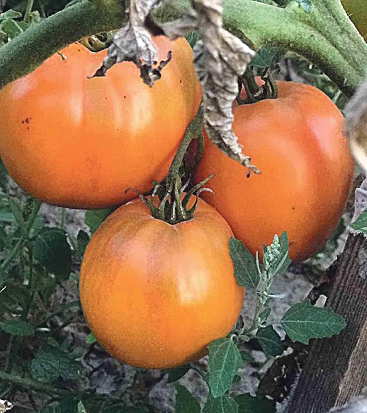 «Золоті куполи» — трендові помідори серед вінничан