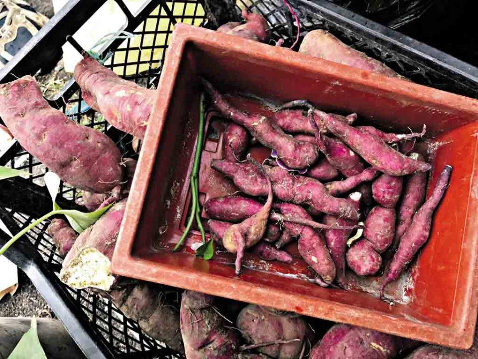 Десятки сортів батату вирощує пенсіонерка з Тиврівщини