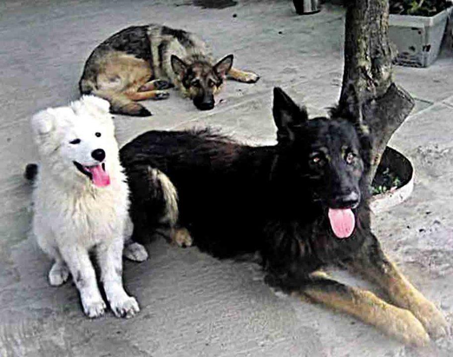 Трьох собак отруїли на подвір'ї пенсіонера. Зоозахисники готові до самосуду