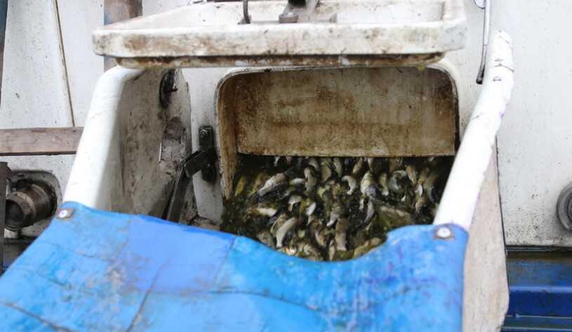 300 тисяч малька – більше 7 тон риби запустили в Південний Буг