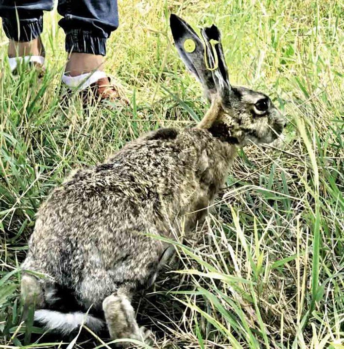 Перший на Вінниччині розплідник зайців збільшить популяцію вухатих у регіоні