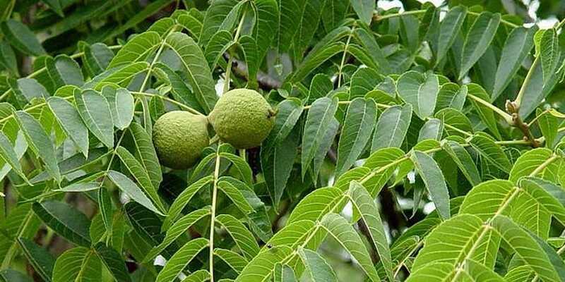 Вінницькі лісники вирощують горіх чорний з цінною деревиною