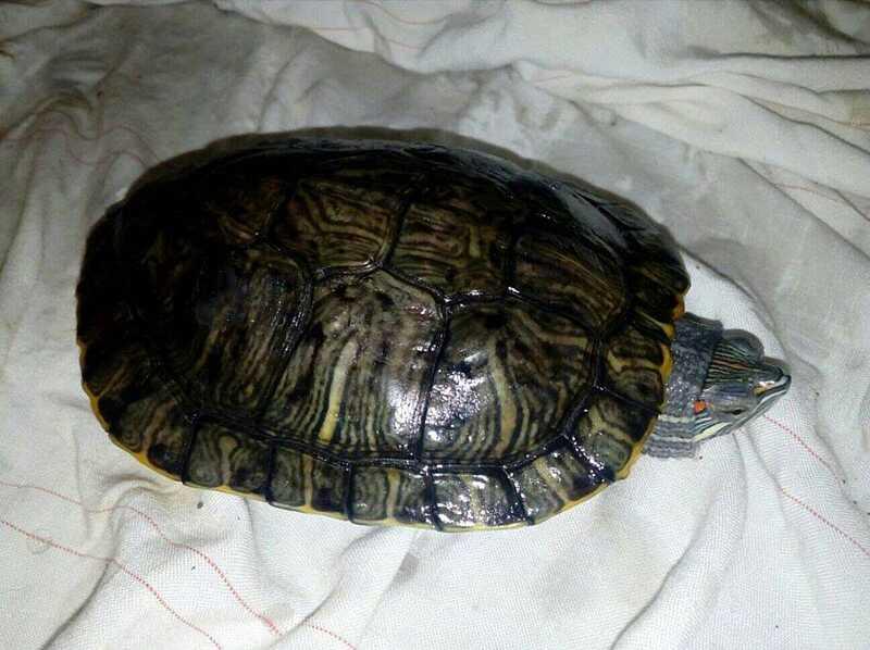 Нових господарів шукають вінницьким черепахам