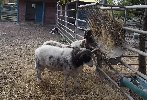 Козенята і ягнятко народились у вінницькому звіринці