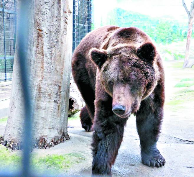Через аномальну зиму вінницькі ведмеді не лягли у сплячку