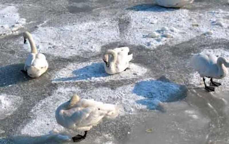 Сотні лебедів замерзають на озері  у Пикові