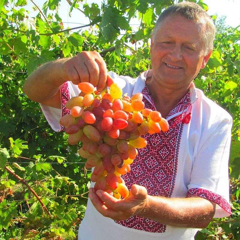 Як правильно садити виноград навесні – поради вінницького господаря