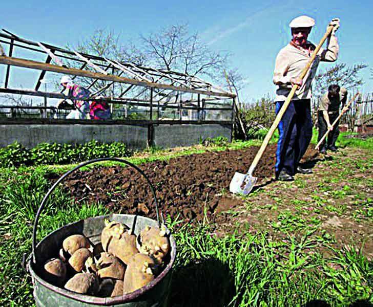 Які сорти обирати і коли краще садити картоплю