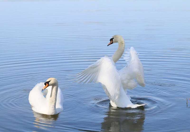 Закохану пару білих красенів 2 роки тому рятували у Вінниці! Ця історія вже стала казкою і легендою (фоторепортаж)