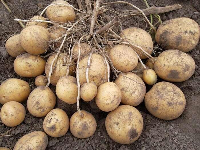 Вінничани садитимуть цьогоріч більше ранньої картоплі