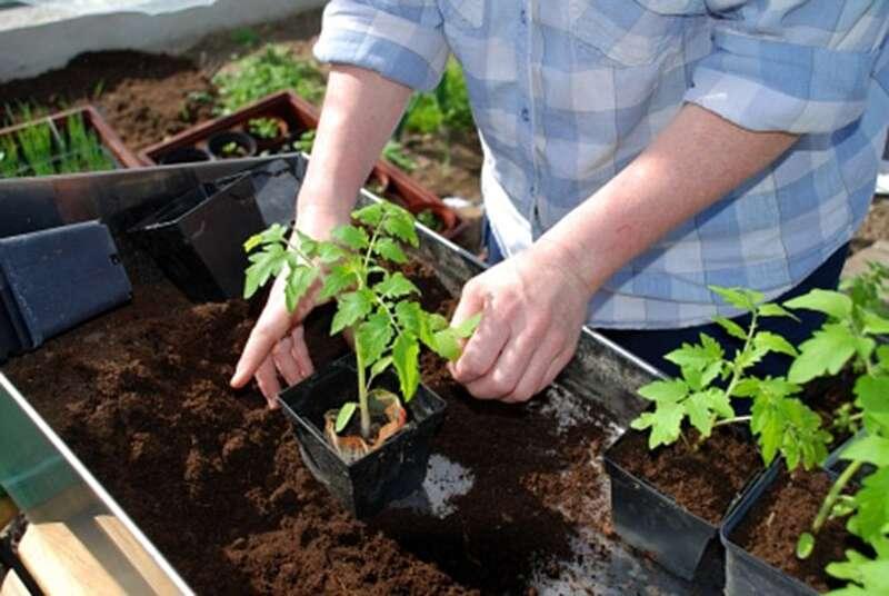Як правильно висаджувати розсаду помідорів?