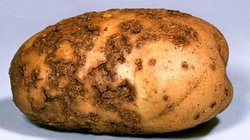 На Вінниччині ліквідували рак картоплі. Що це за хвороба і як з нею боротись?