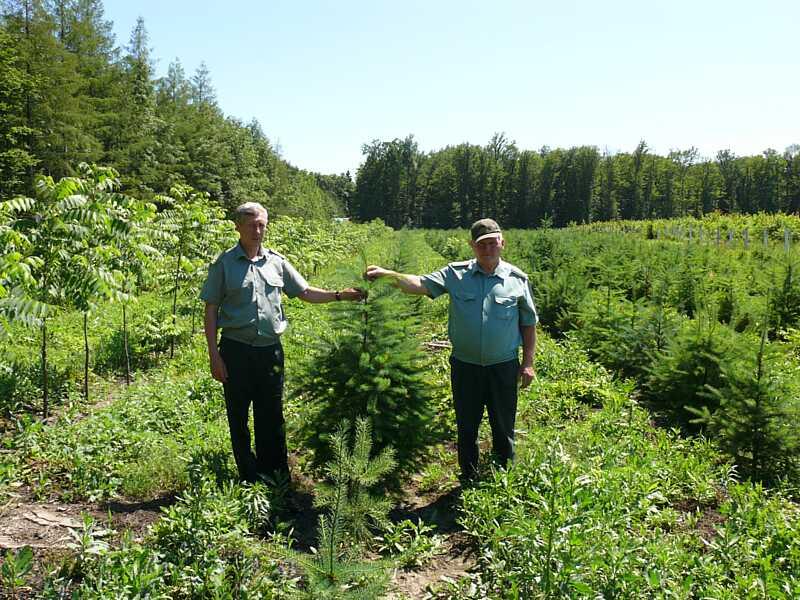 Зразковий стан лісових культур – результат відповідальної праці лісівників ДП «Дашівське ДЛМГ»
