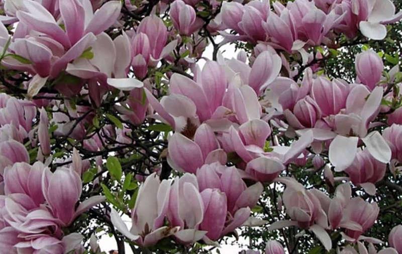 На Вінниччині вдруге квітнуть магнолії! Аномалії природи ми маємо можливість споглядати не перший рік