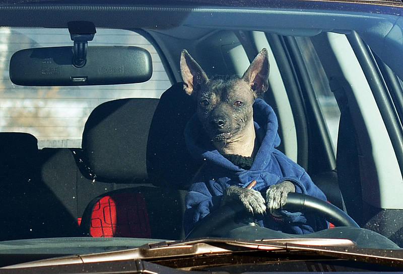 У Вінниці пес водить автівку