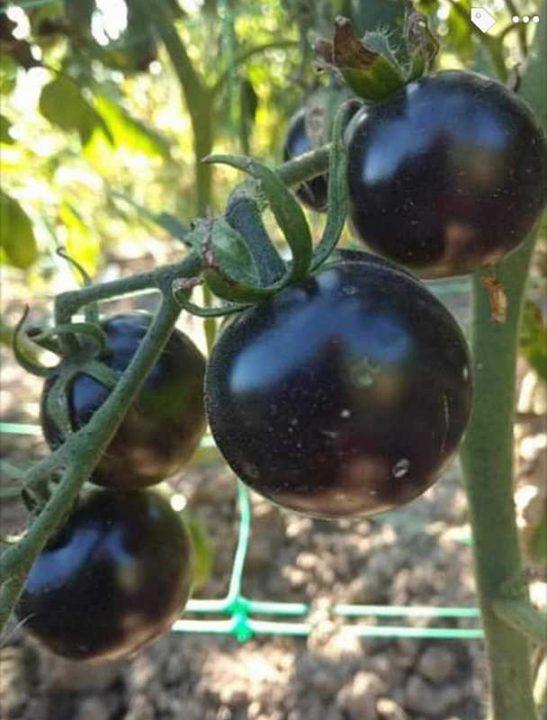 Чорні помідори вирощує наша читачка з Тиврова