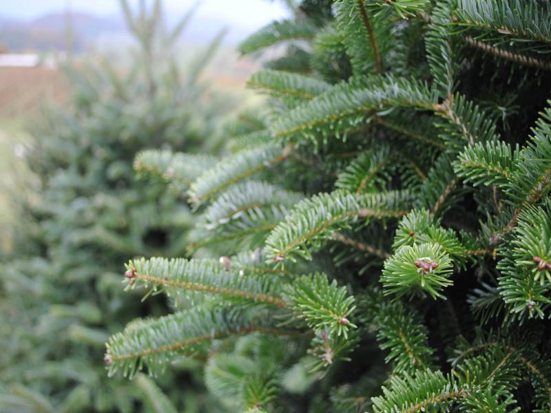 10 років: – від насінини до новорічного дерева!