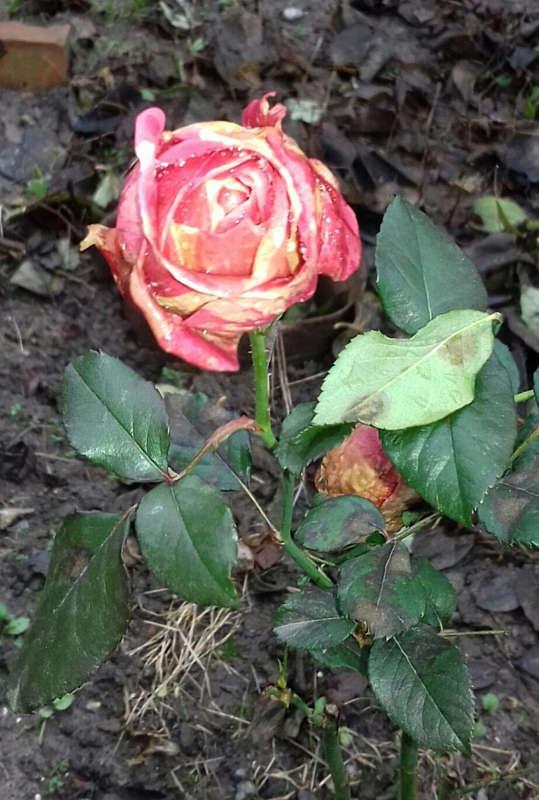 У січні у вінничан цвітуть троянди та хризантеми! У лісах досі повно грибів!