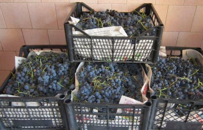 Свіжий виноград до Водохреща смакує господар з Вінниччини. Як зберігає?