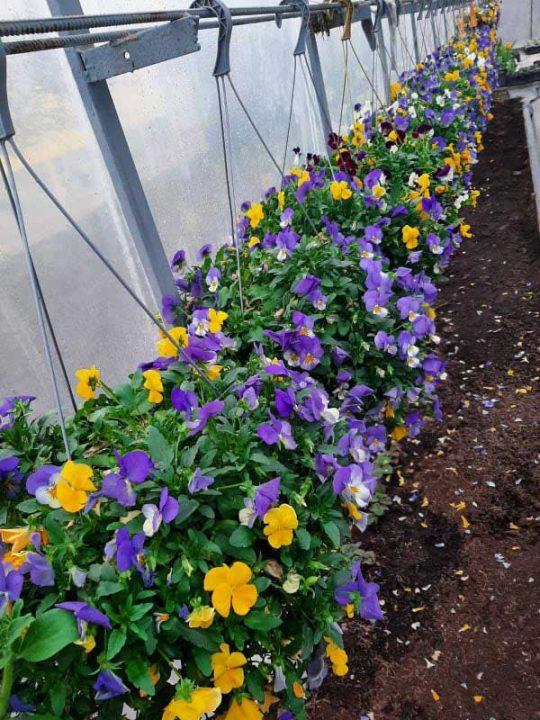 25 видів сульфінії і 30 видів калачиків квітнуть у теплицях немирівчанки Олени Науменко