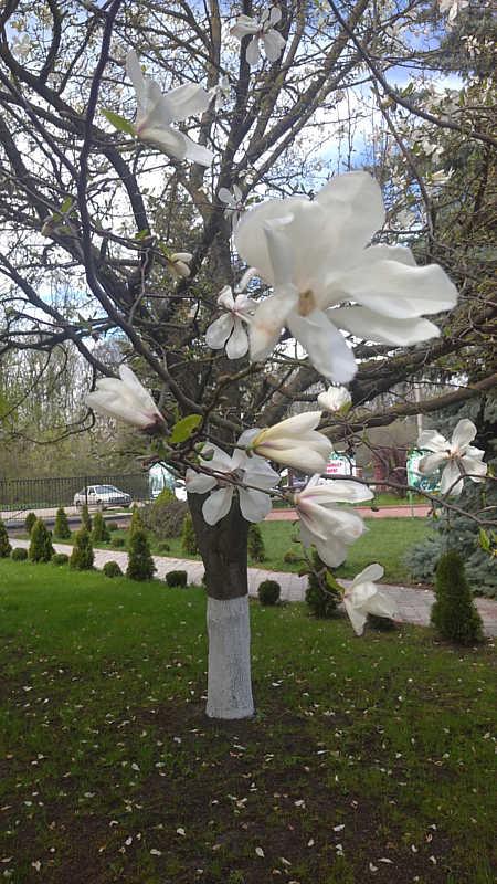Білявка з історією: Щороку на подвір'ї ДП «Крижопільський лісгосп» цвіте 43-річна магнолія
