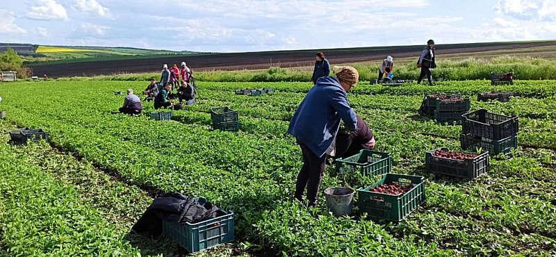 Чи не найбільшу в Україні плантацію редиски площею 5 га почали збирати у фермерському господарстві Віталія Августа в селі Марківка на Вінниччині