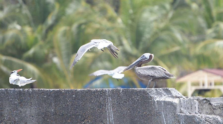 Суїцид сірих пеліканів насправді виявився звичним для них полюванням на рибу (відео)