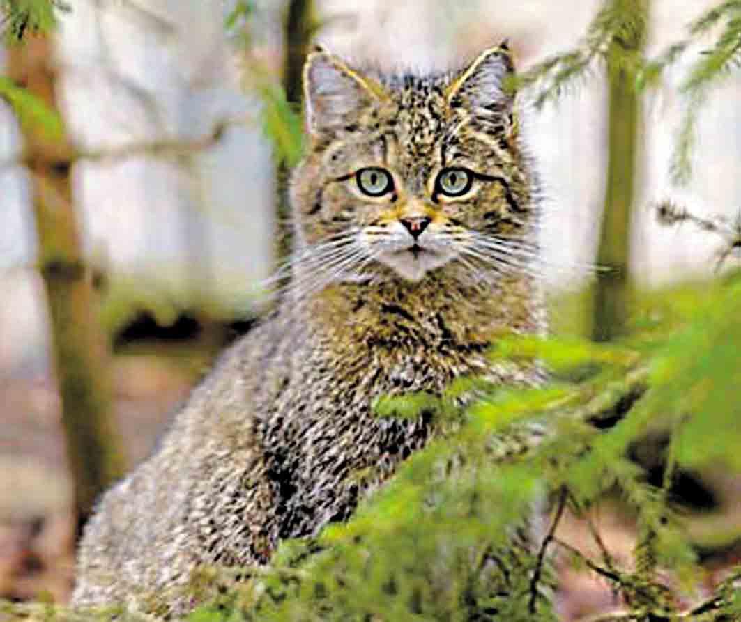 Лісовим котам сподобалося у вінницьких лісах