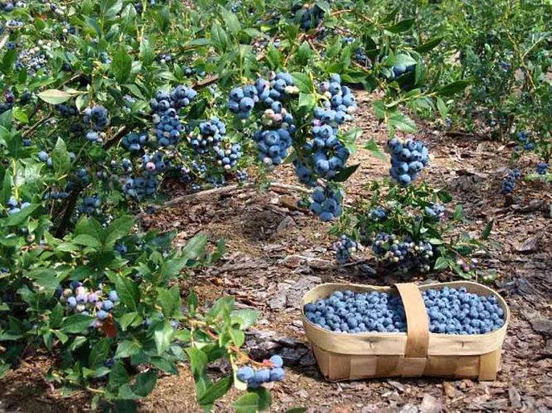 Лохина – по 150 грн за кіло! Фермер з Вінниччини ділиться секретами вирощування та чим же корисна ягода