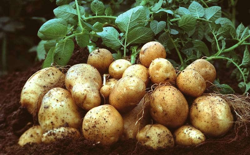 Вінниччина у лідерах за збором картоплі. Чи вплине непогода на її ціну?