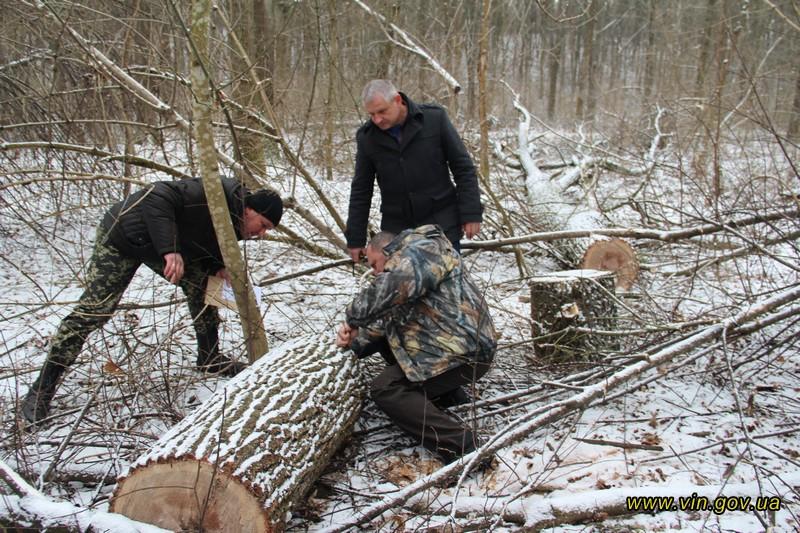 Знищили одинадцять 80-літніх дубів. Кожен дуб — на вагу золота!