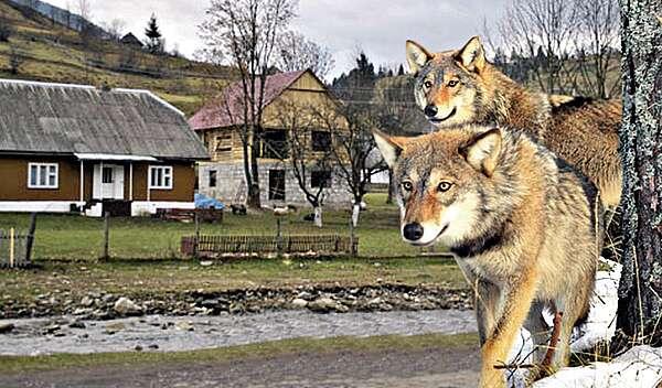 Поблизу сіл бачили вовків