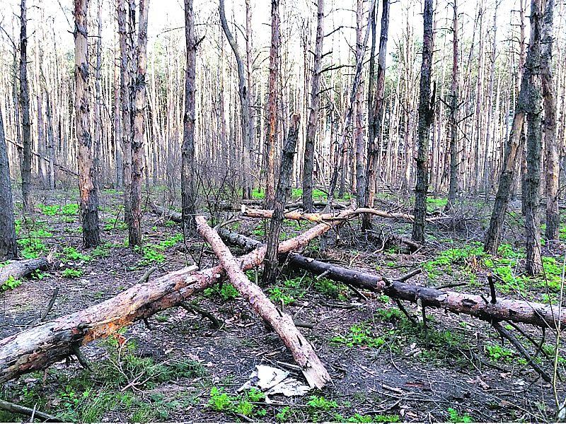 Сохнуть сосни та ялини. Вінницькі ліси гинуть через шкідників та спеку
