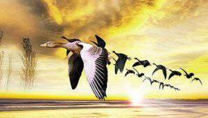 Тисячі птахів мігрують через Вінниччину