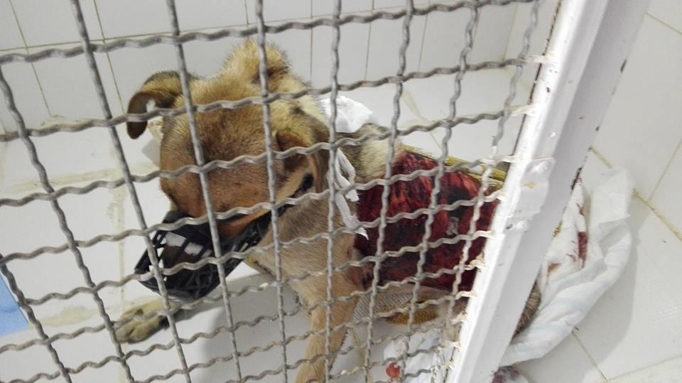 Собака, із якої здерли шкіру, померла. Активісти підозрюють, що у місті завівся догхантер (ОБЕРЕЖНО! ШОК-КОНТЕНТ!!!)