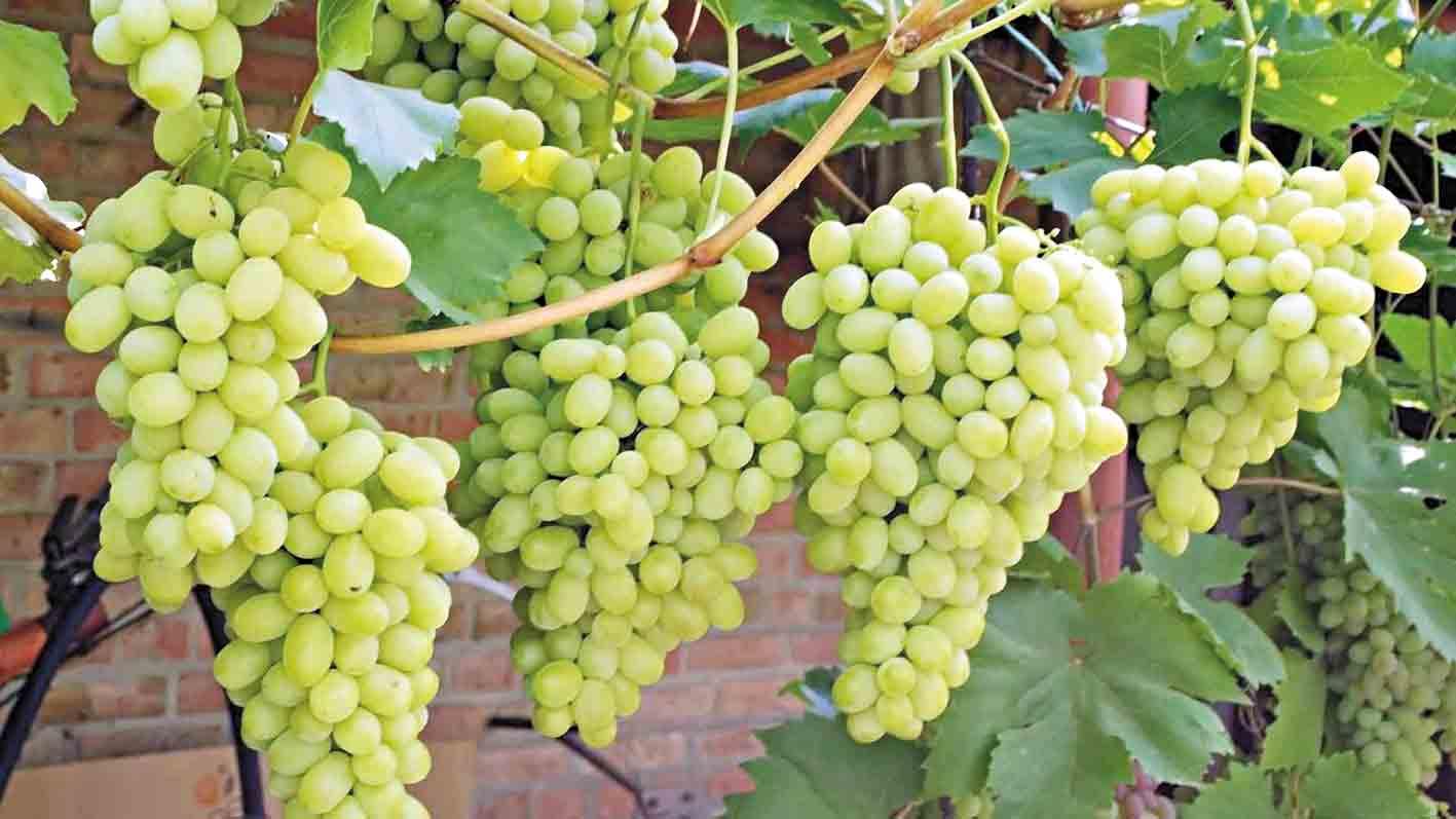 Понад 80 видів винограду вирощує житель Хмільника Руслан Підлісняк